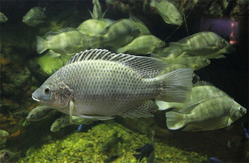 5 easy to follow aquaponics tips for tilapia fish farming for Tilapia fish farming
